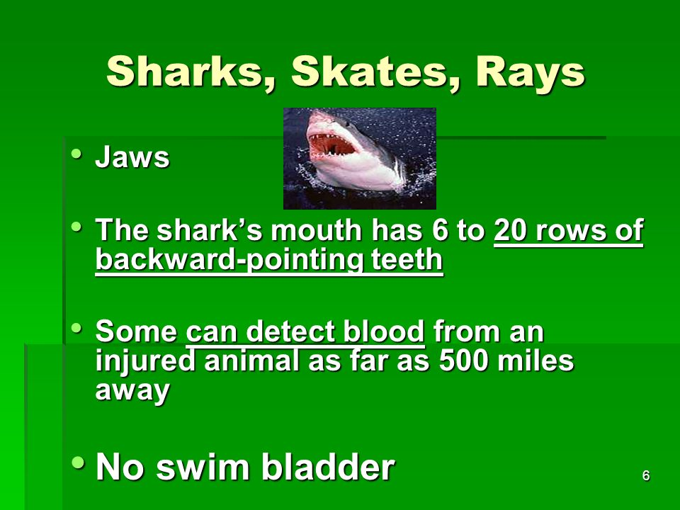 Sharks, Skates, Rays No swim bladder Jaws