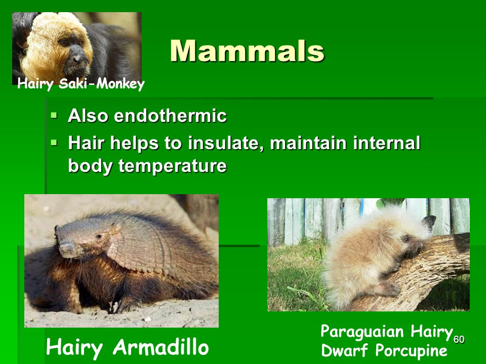 Mammals Hairy Armadillo Also endothermic