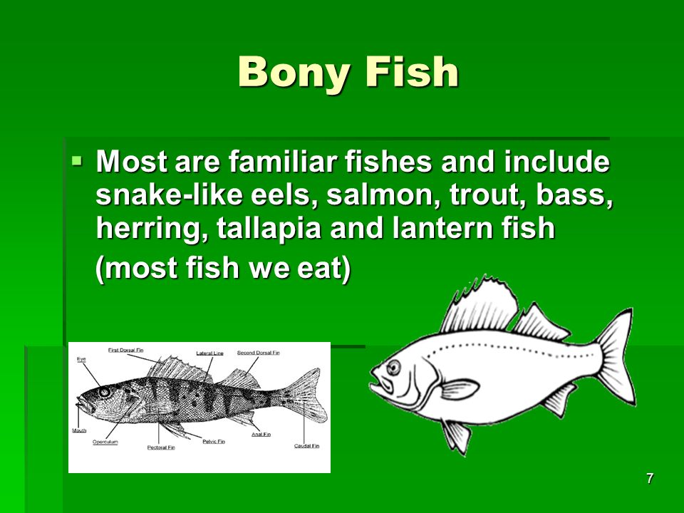 Bony Fish Most are familiar fishes and include snake-like eels, salmon, trout, bass, herring, tallapia and lantern fish.