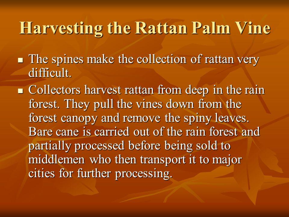 Harvesting the Rattan Palm Vine
