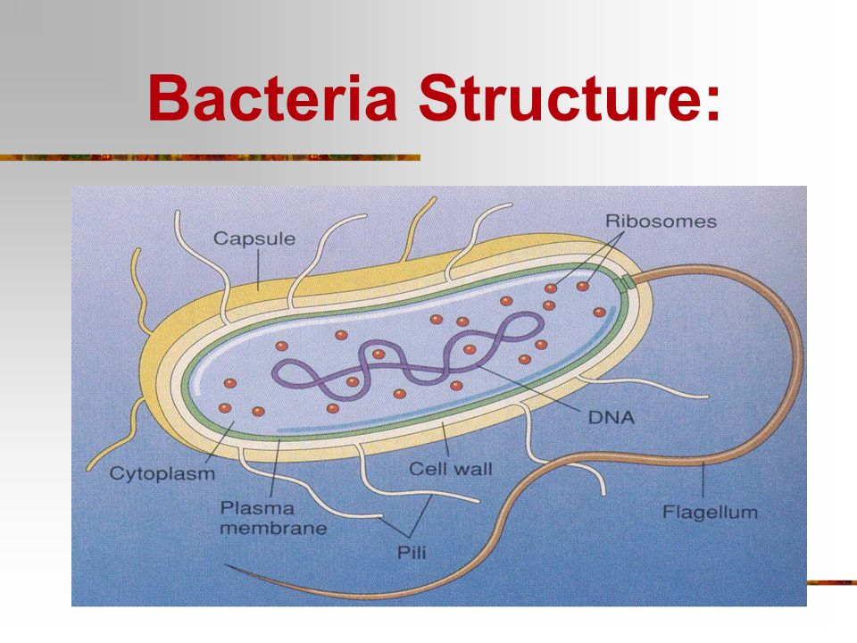 Bacteria Structure: