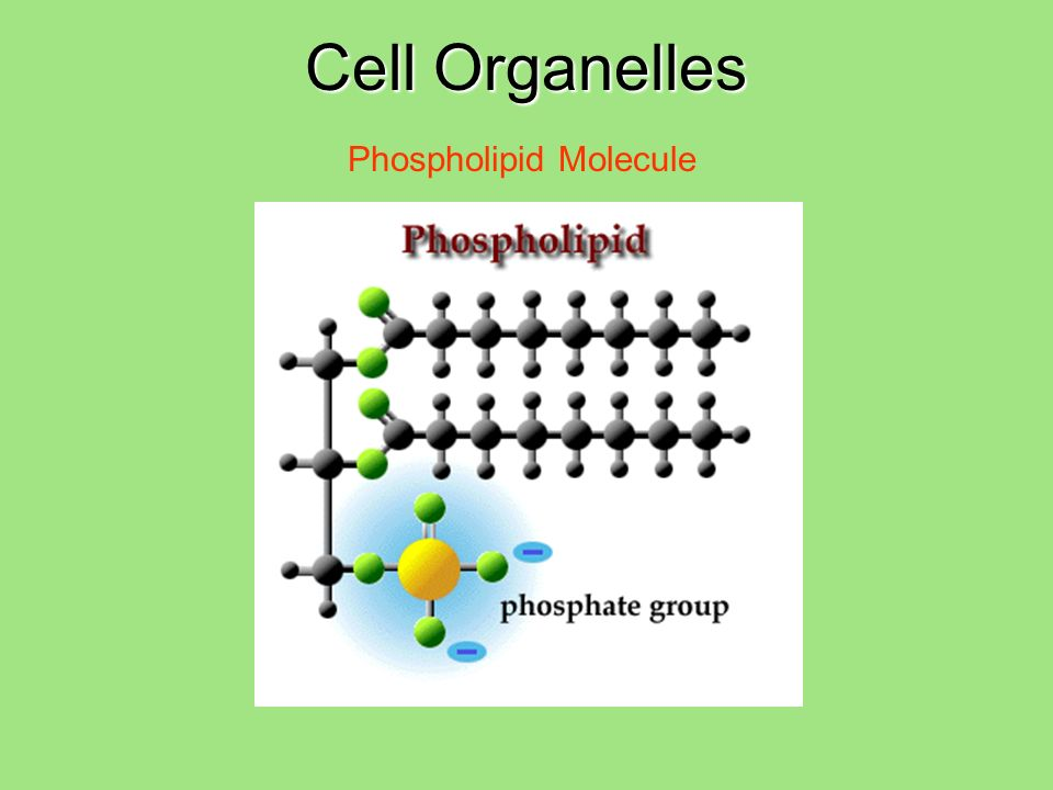 Phospholipid Molecule