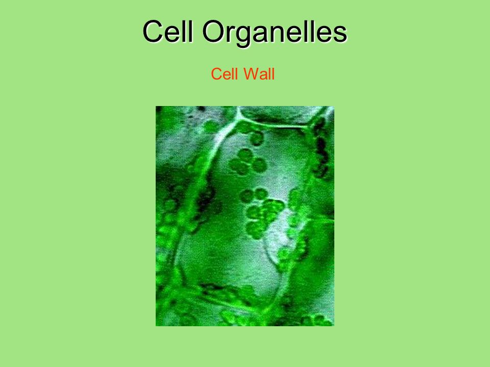 Cell Organelles Cell Wall