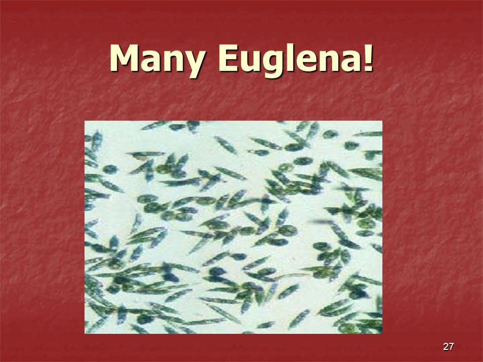 Many Euglena!