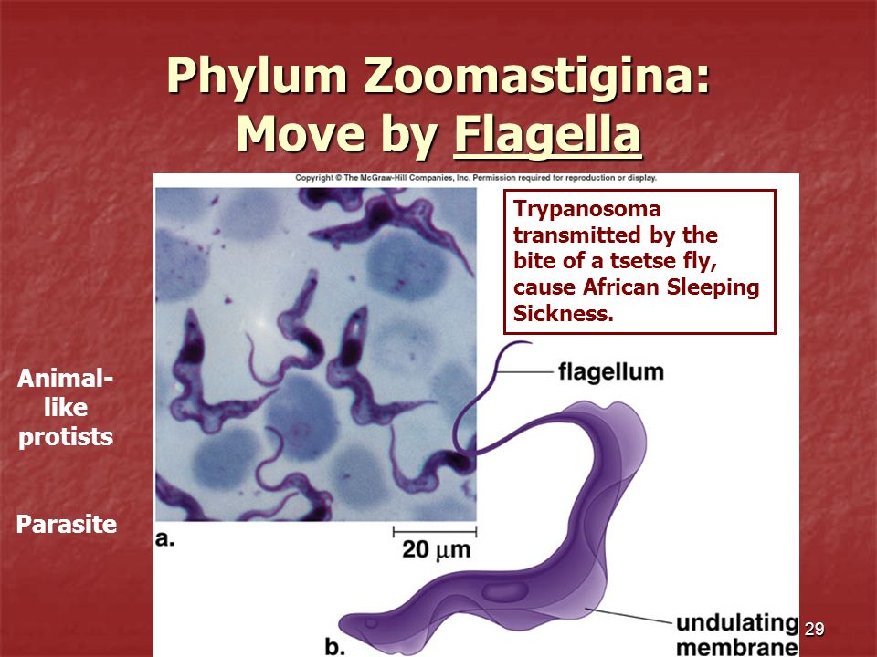 Phylum Zoomastigina: Move by Flagella
