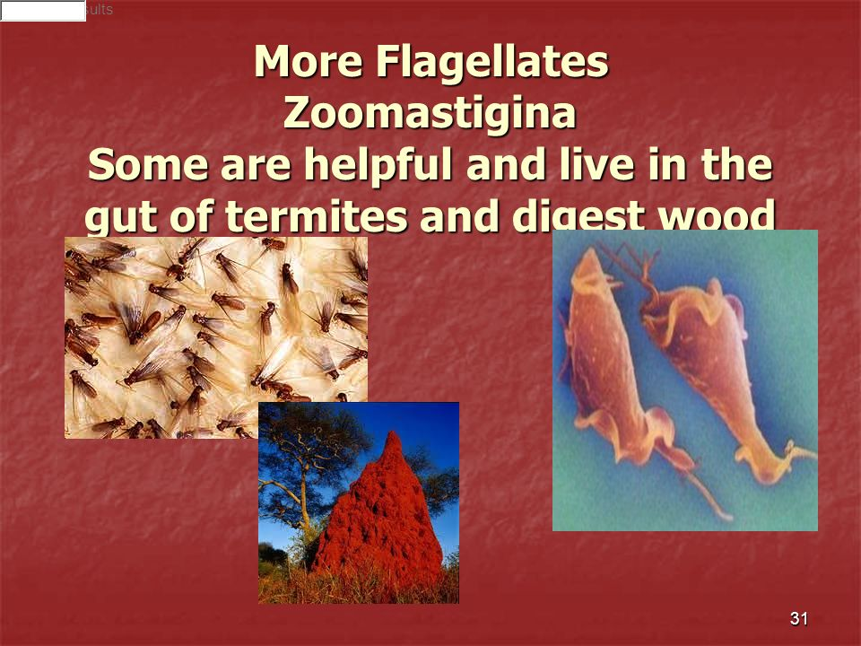 Search ResultsMore Flagellates Zoomastigina Some are helpful and live in the gut of termites and digest wood.