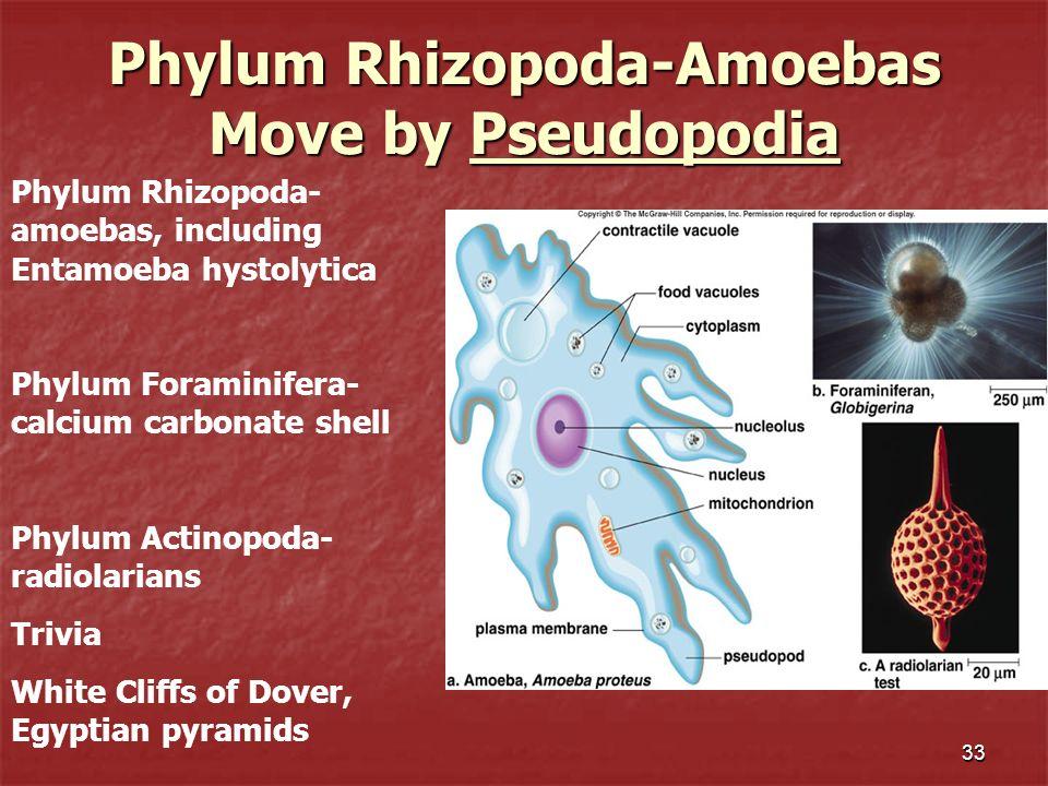 Phylum Rhizopoda-Amoebas Move by Pseudopodia