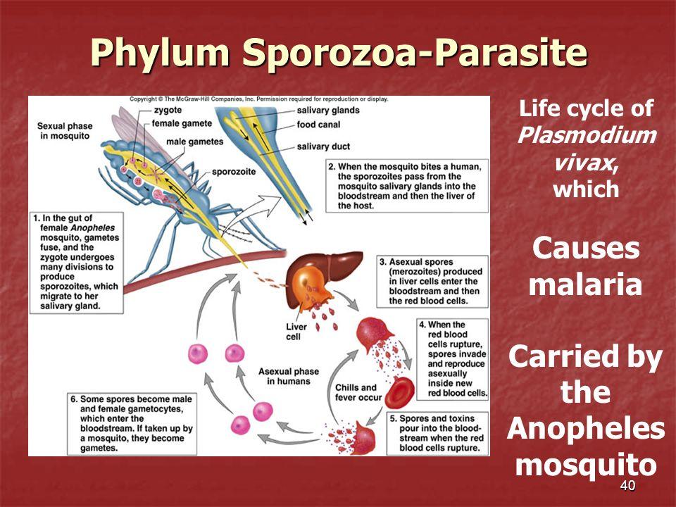 Phylum Sporozoa-Parasite