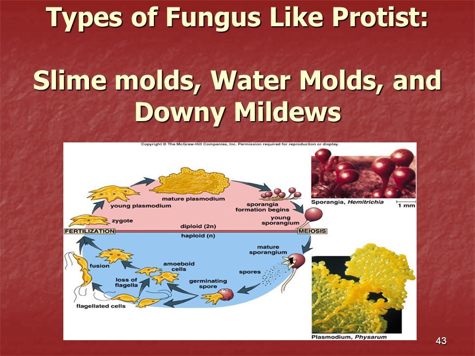 Types of Fungus Like Protist: Slime molds, Water Molds, and Downy Mildews