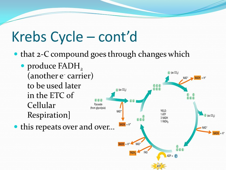 Krebs Cycle – cont'd that 2-C compound goes through changes which