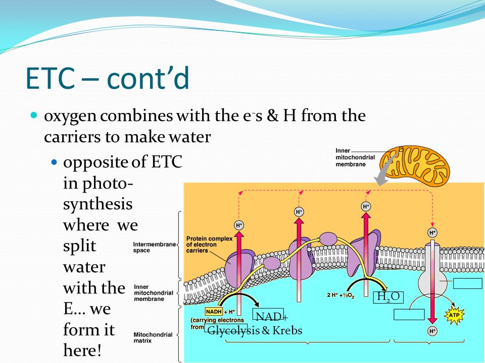 ETC – cont'd oxygen combines with the e-s & H from the carriers to make water.