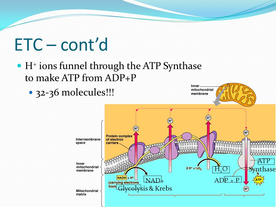 ETC – cont'd H+ ions funnel through the ATP Synthase to make ATP from ADP+P. 32-36 molecules!!! ATP.