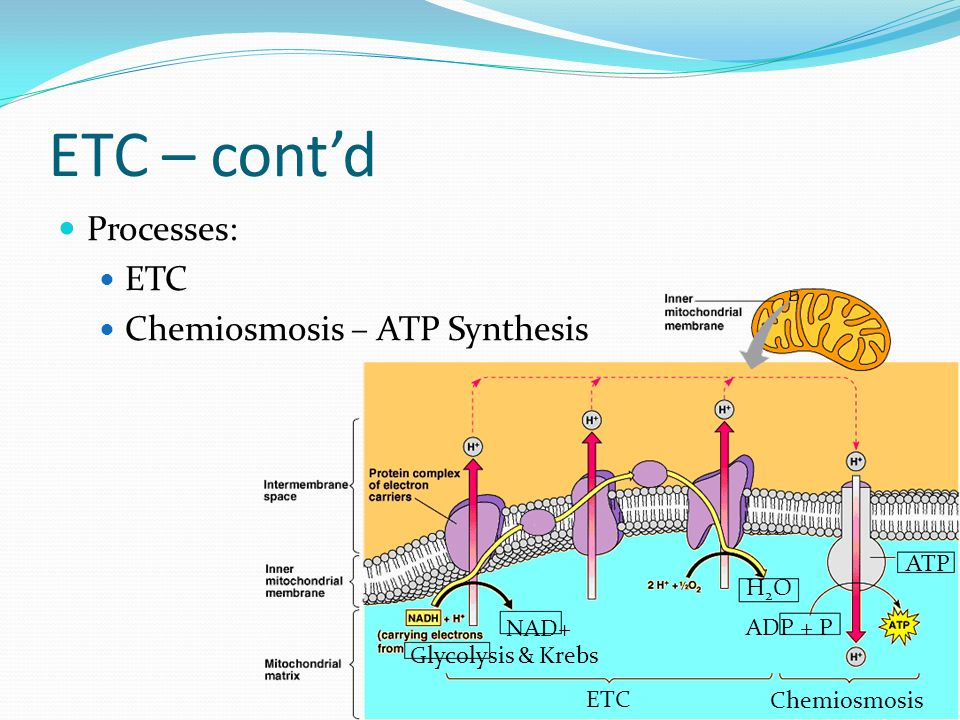 ETC – cont'd Processes: ETC Chemiosmosis – ATP Synthesis ATP H2O NAD+