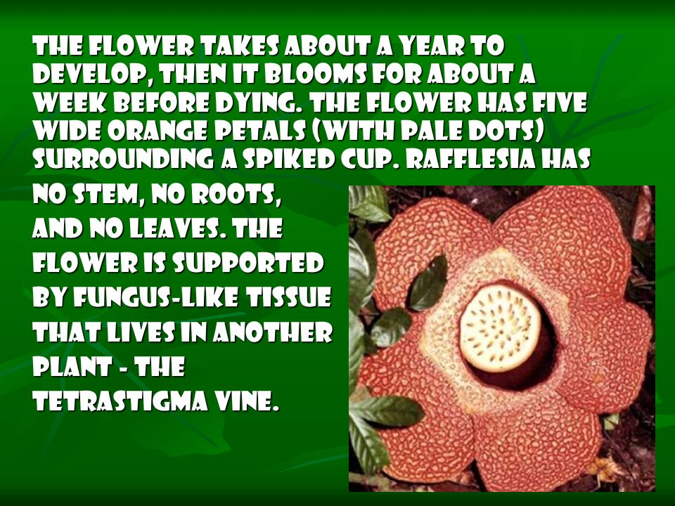 The flower takes about a year to develop, then it blooms for about a week before dying. The flower has five wide orange petals (with pale dots) surrounding a spiked cup. Rafflesia has