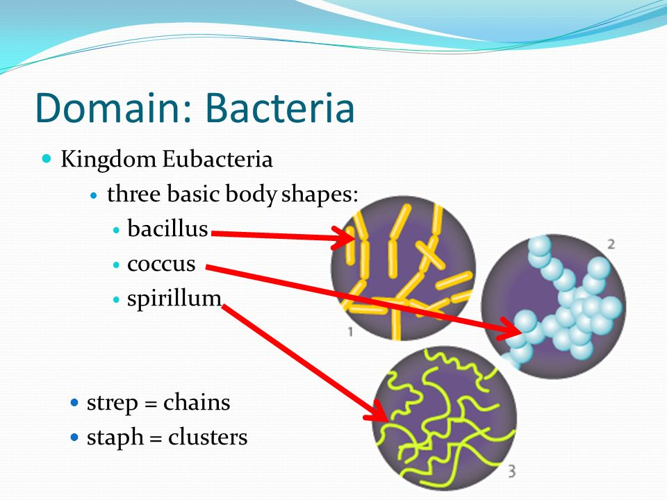 Domain: Bacteria Kingdom Eubacteria three basic body shapes: bacillus