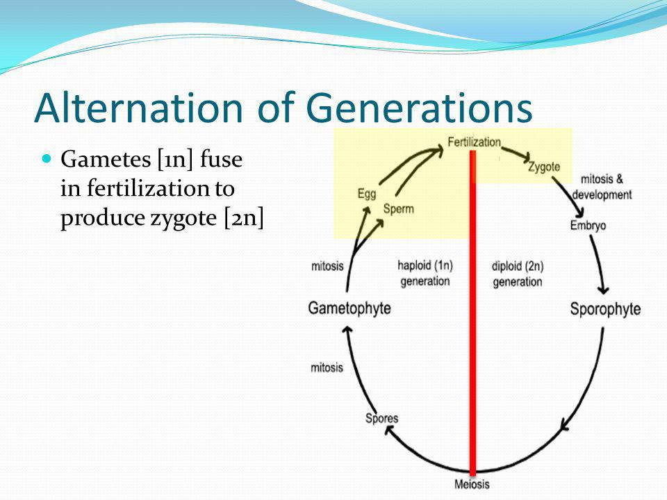 relationship between zygotes and gametes fuse
