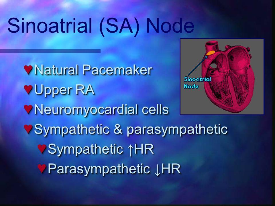 Sinoatrial (SA) Node Natural Pacemaker Upper RA Neuromyocardial cells
