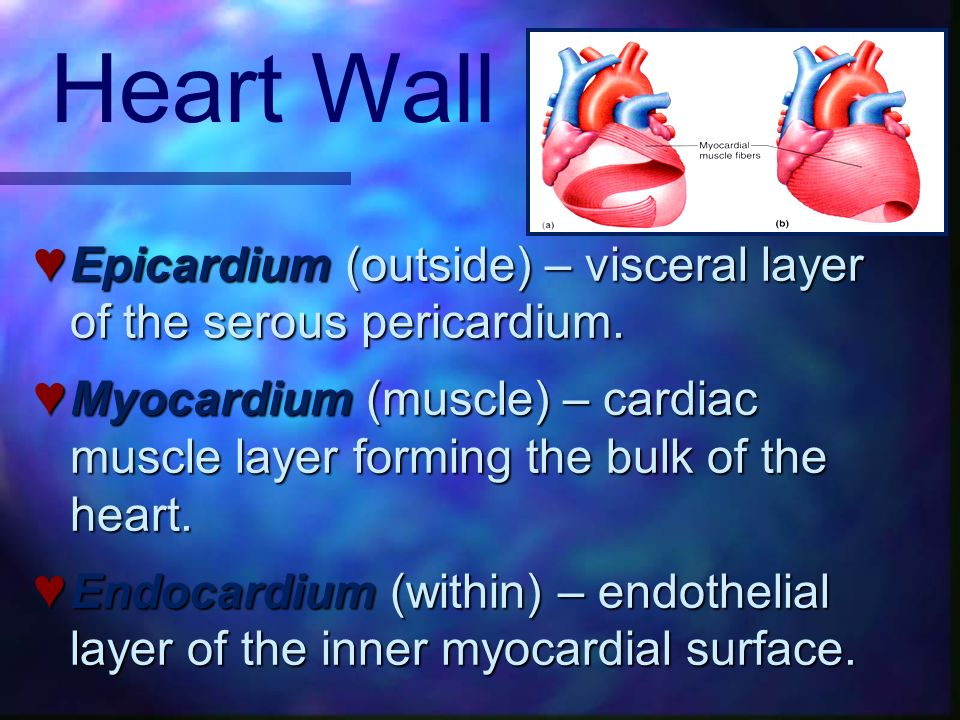 Heart Wall Epicardium (outside) – visceral layer of the serous pericardium.