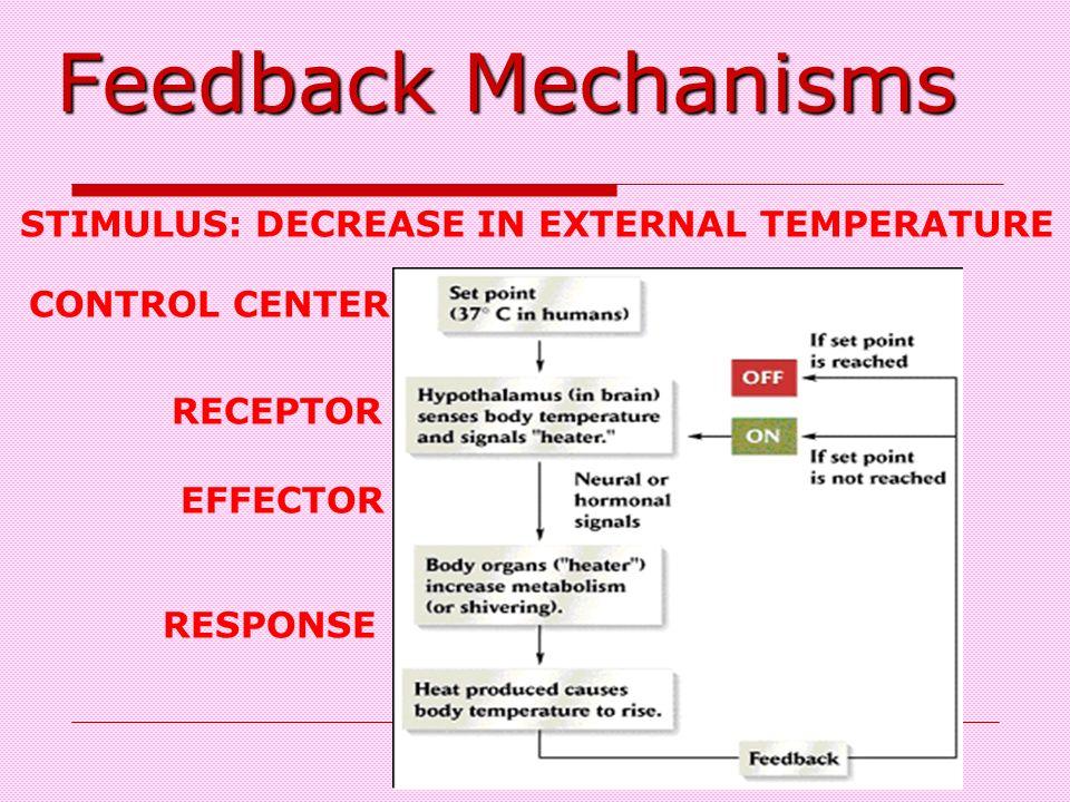 Feedback Mechanisms STIMULUS: DECREASE IN EXTERNAL TEMPERATURE