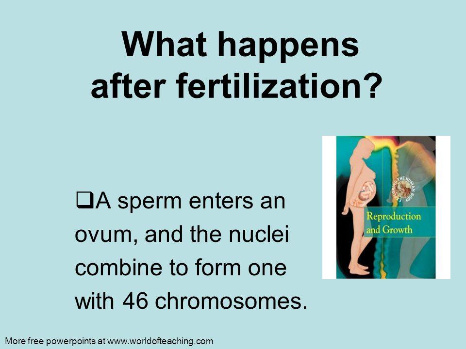 What happens after fertilization