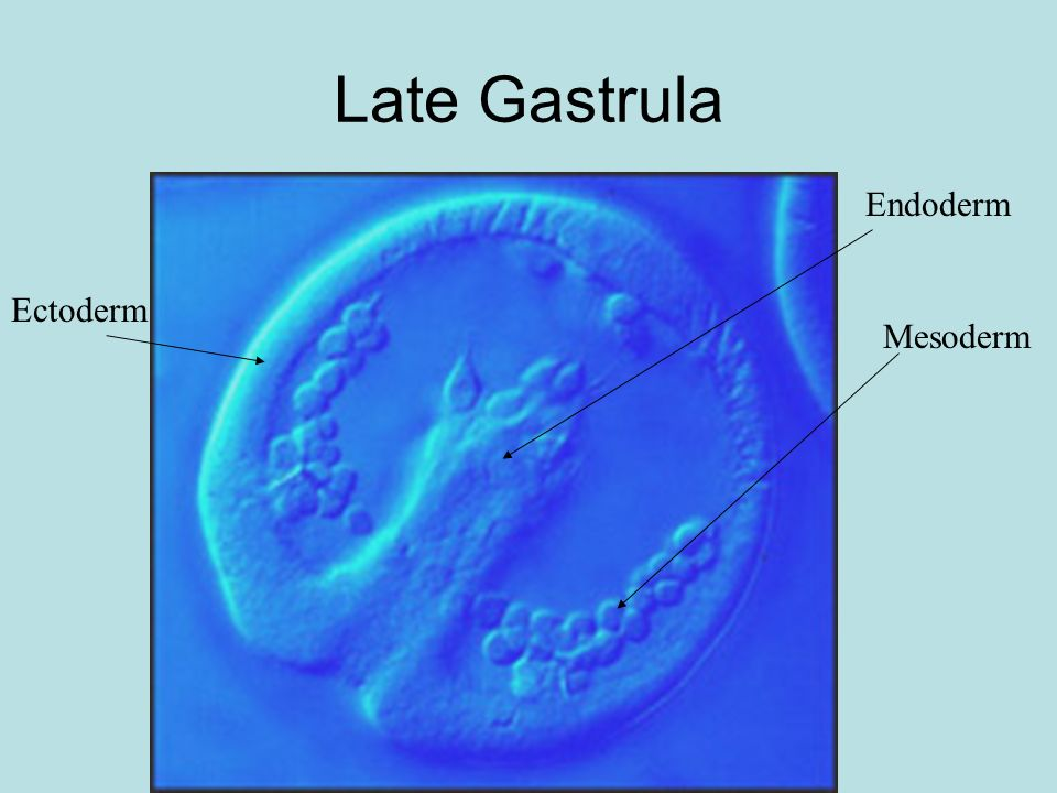 Late Gastrula Endoderm Ectoderm Mesoderm