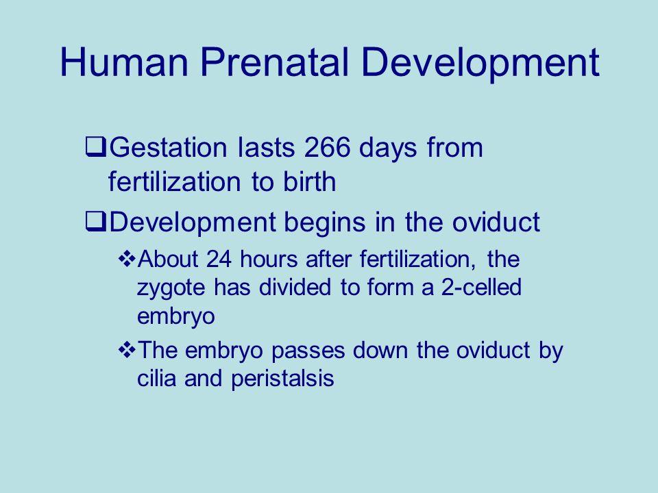 Human Prenatal Development