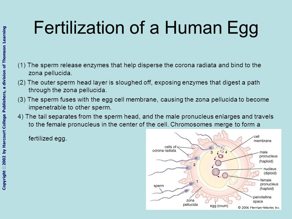 Fertilization of a Human Egg