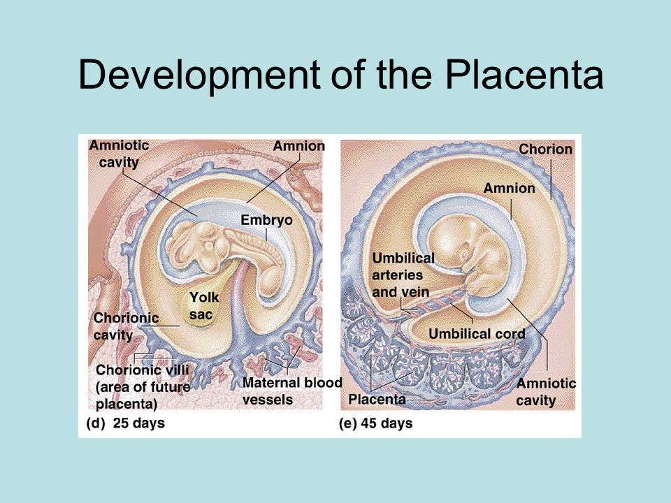 Development of the Placenta
