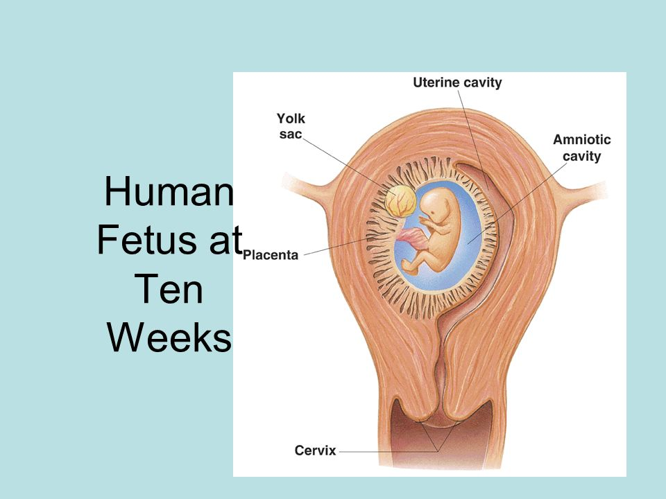 Human Fetus at Ten Weeks