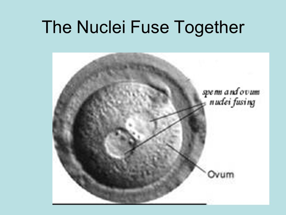 The Nuclei Fuse Together