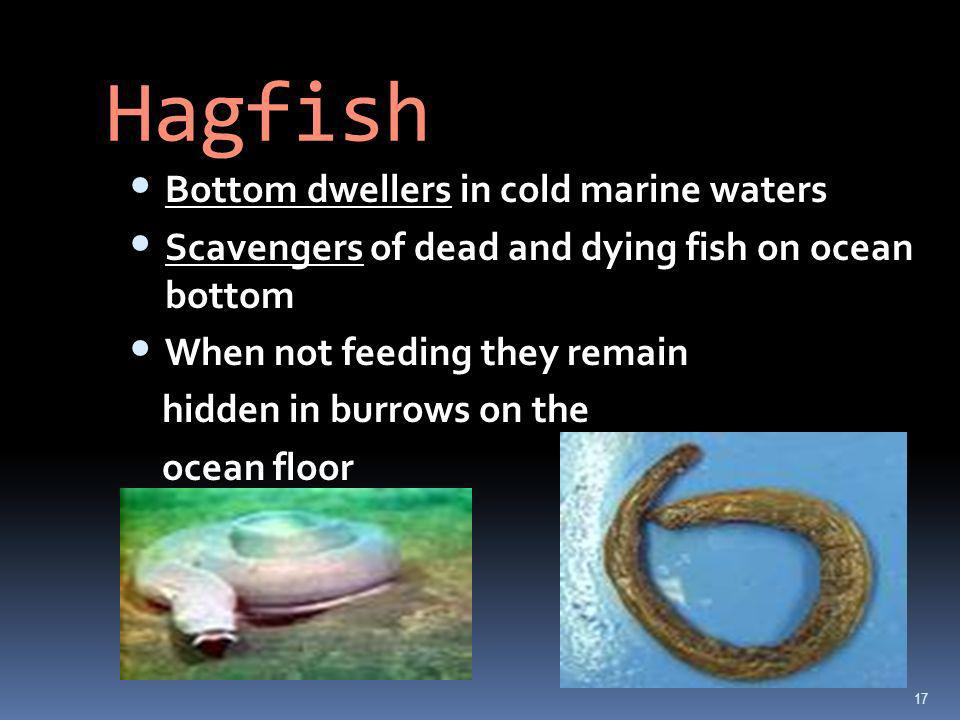 Hagfish Bottom dwellers in cold marine waters