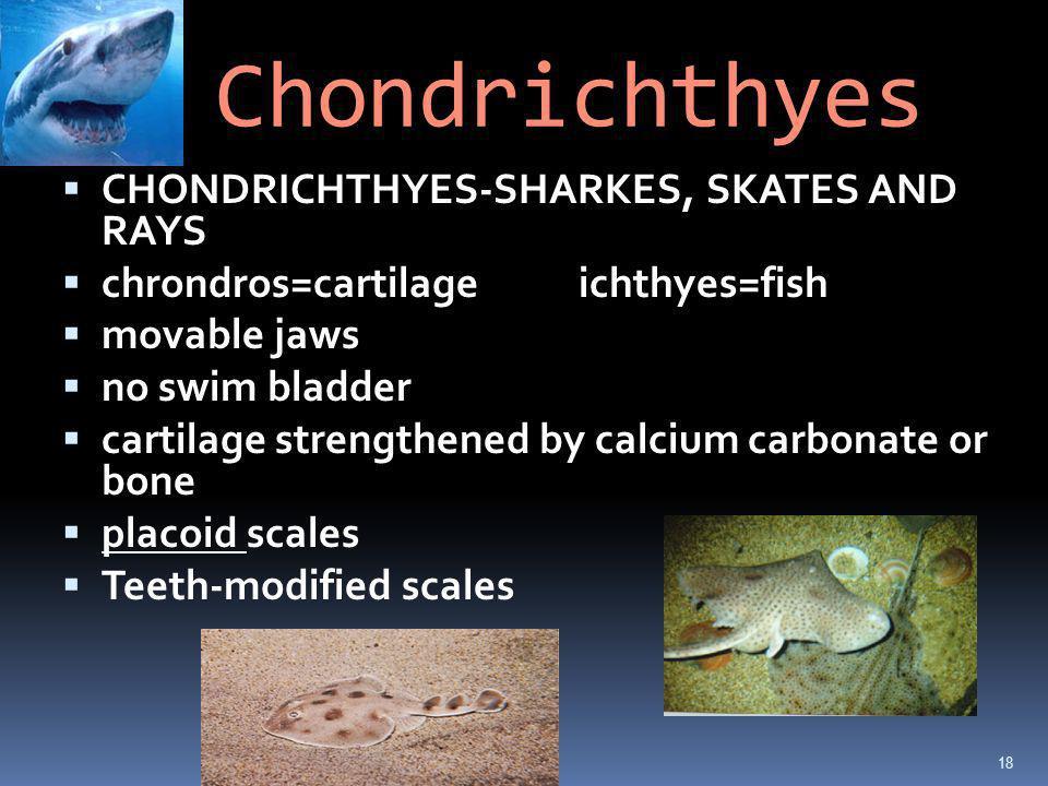 Chondrichthyes CHONDRICHTHYES-SHARKES, SKATES AND RAYS