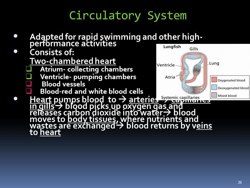 Circulatory System Adapted for rapid swimming and other high- performance activities. Consists of: