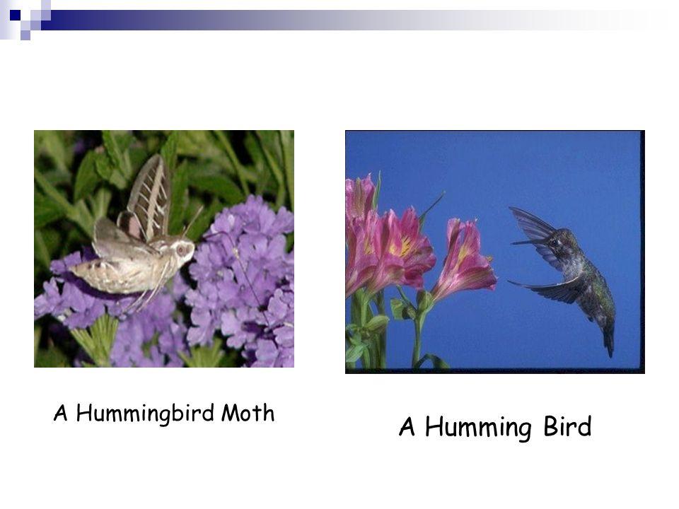 A Hummingbird Moth A Humming Bird