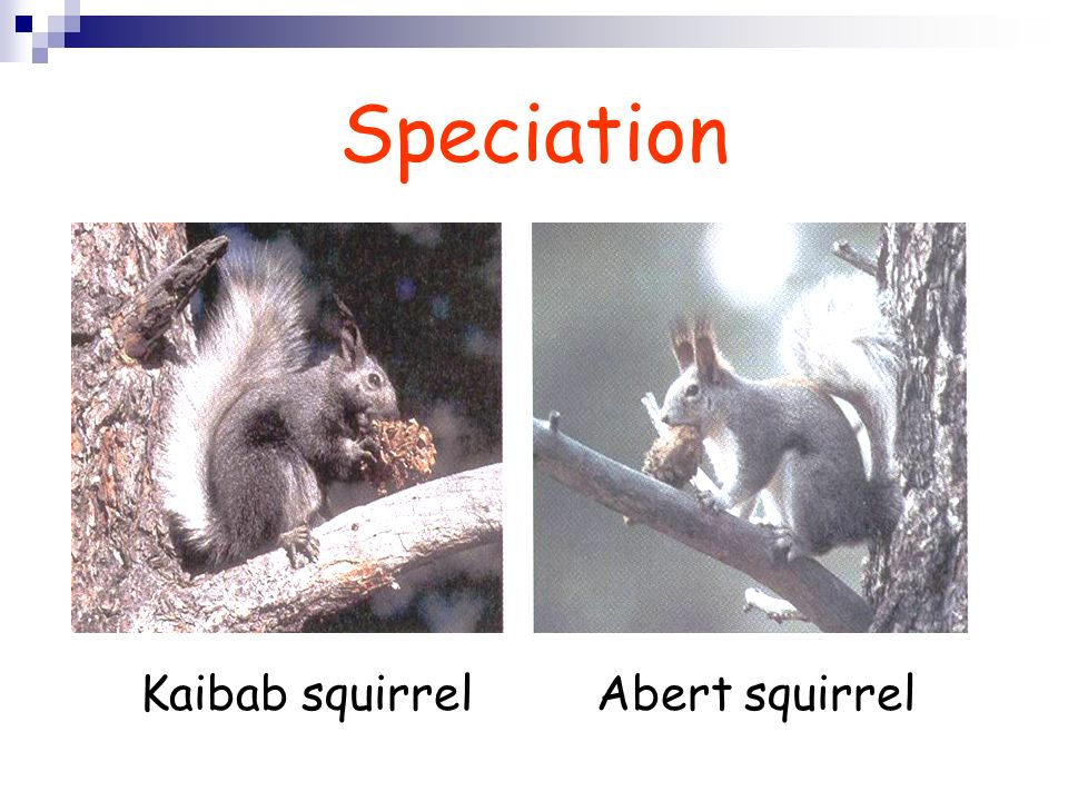 Kaibab squirrel Abert squirrel