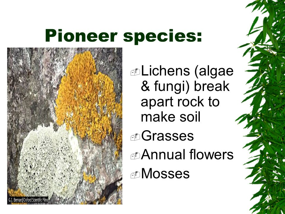 Pioneer species: Lichens (algae & fungi) break apart rock to make soil