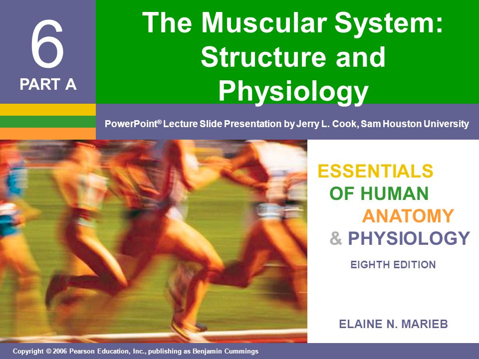The Muscular System: Structure and Physiology - ppt video online ...