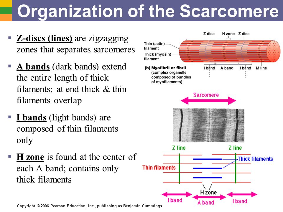 Organization of the Scarcomere
