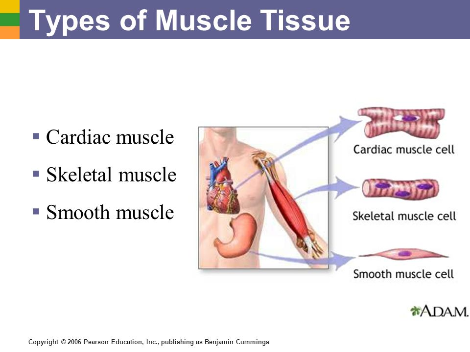 Types of Muscle Tissue Cardiac muscle Skeletal muscle Smooth muscle