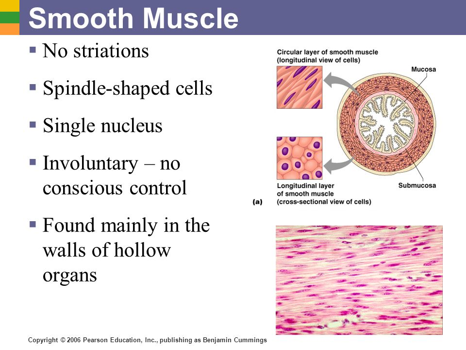 Smooth Muscle No striations Spindle-shaped cells Single nucleus
