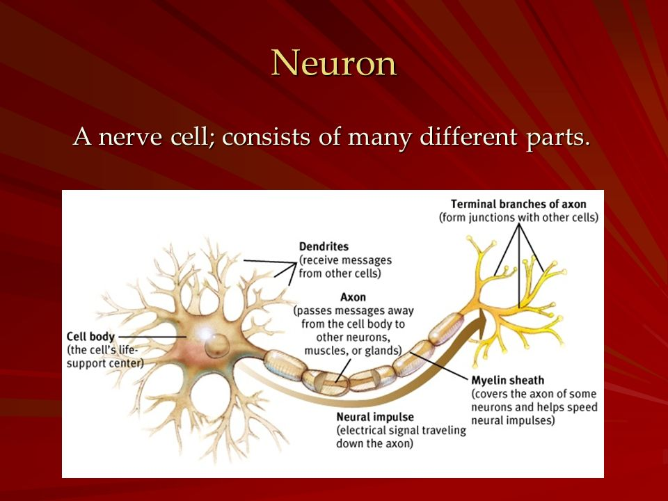 A nerve cell; consists of many different parts.
