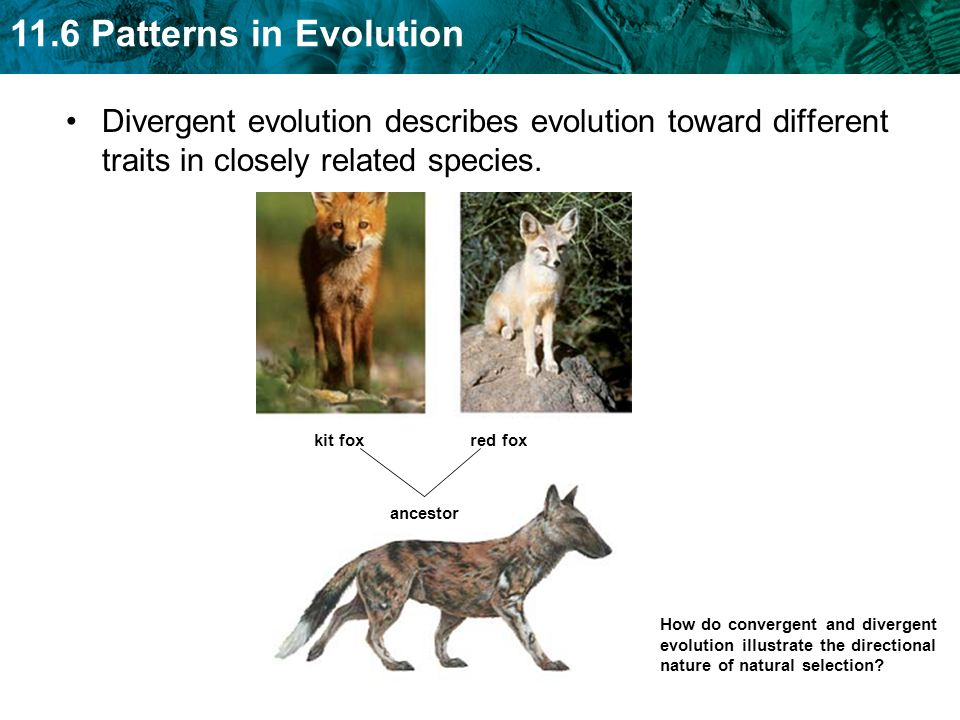 Divergent evolution describes evolution toward different traits in closely related species.