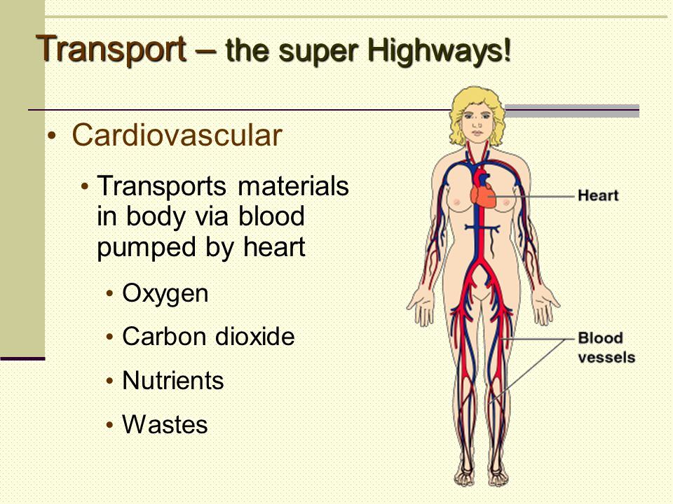 Transport Body Parts : Body parts an organ system overview ppt video online