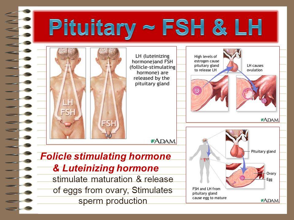 Folicle stimulating hormone & Luteinizing hormone