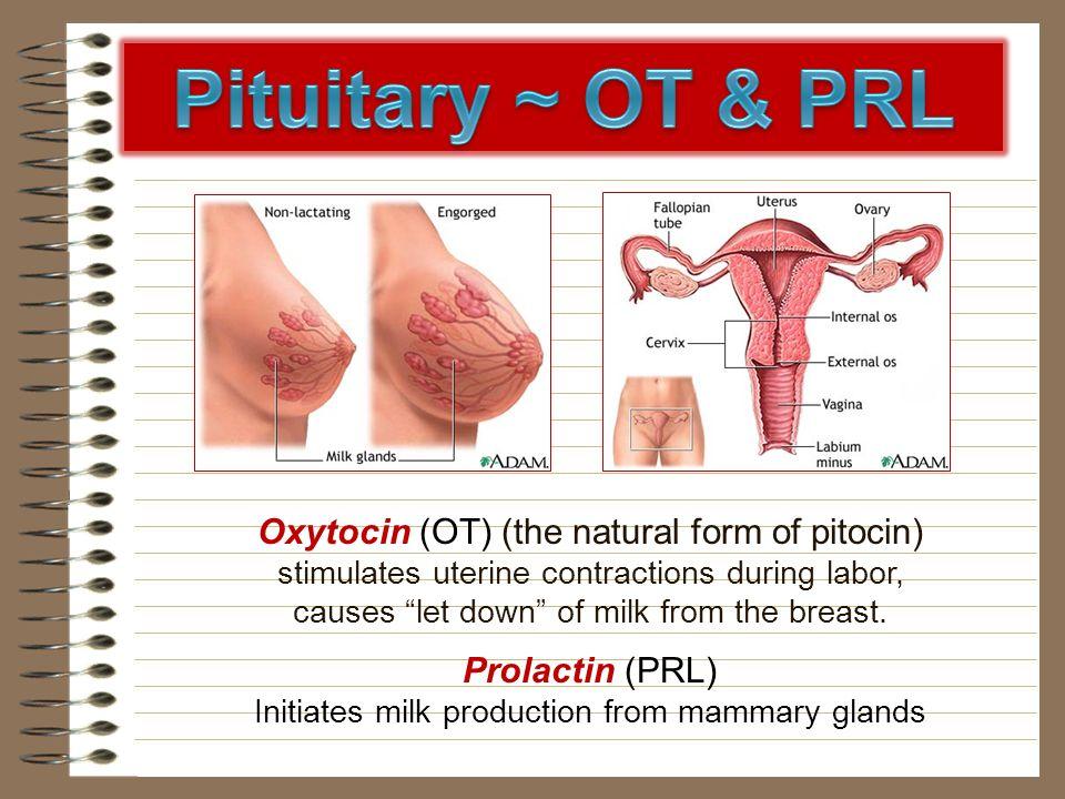 Pituitary ~ OT & PRL Oxytocin (OT) (the natural form of pitocin)