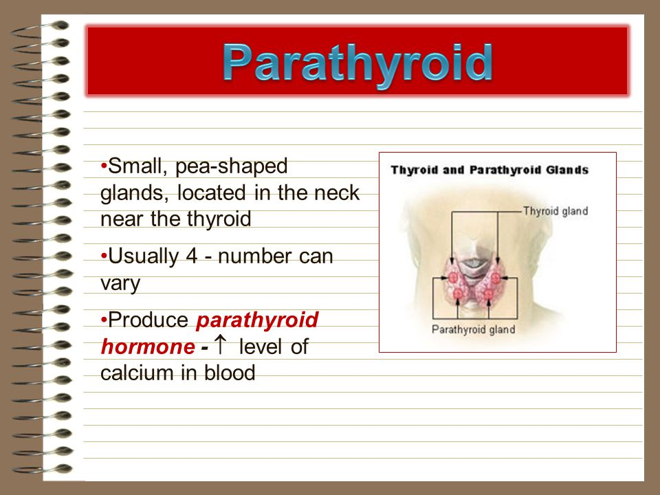 Parathyroid Small, pea-shaped glands, located in the neck near the thyroid. Usually 4 - number can vary.