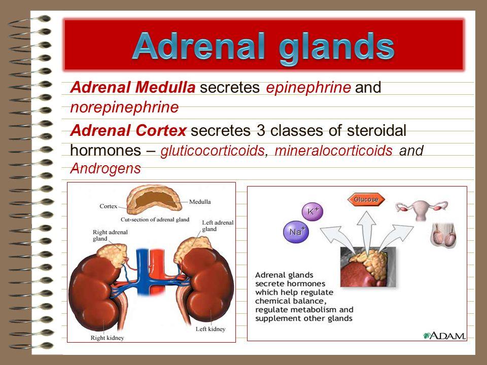 Adrenal glands Adrenal Medulla secretes epinephrine and norepinephrine