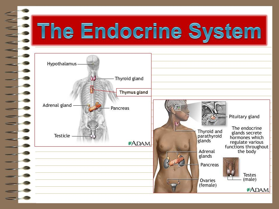 The Endocrine System Thymus gland.