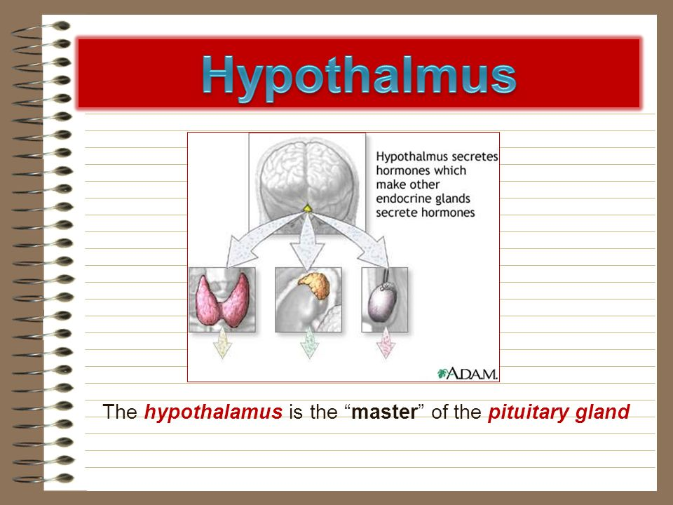 Hypothalmus The hypothalamus is the master of the pituitary gland