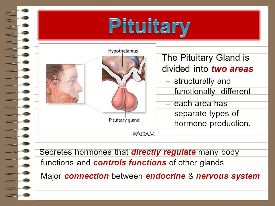 Pituitary The Pituitary Gland is divided into two areas. structurally and functionally different.